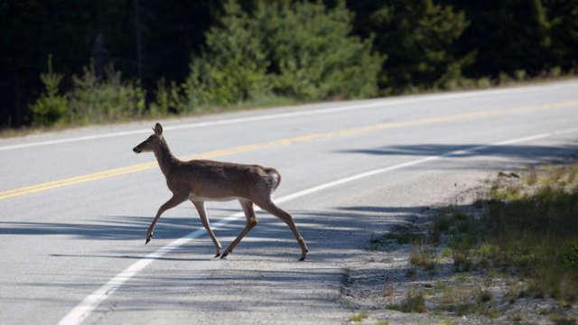 divljač na cesti