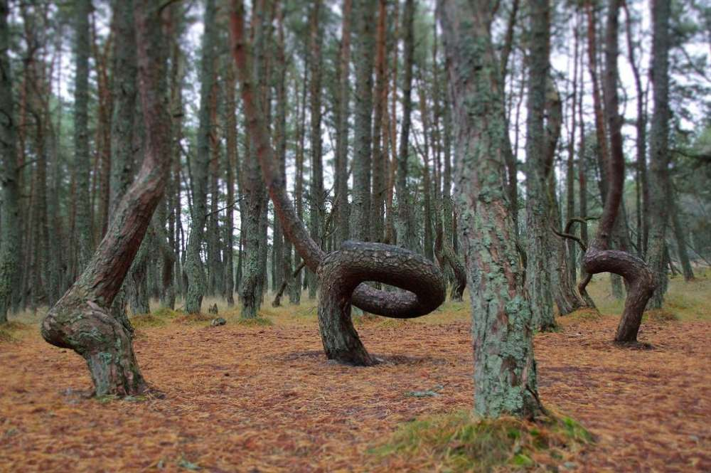 zakrivljena stabla u šumi