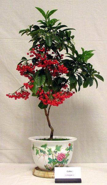 biljka kavovac