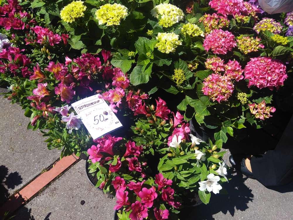 sajam cvijeća alstromerija