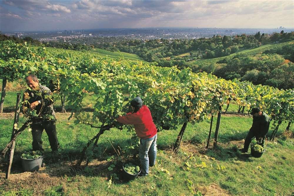 Grad sa preko 700 hektara svojih vinograda! Jedan u strogom centru postoji već 150 godina!