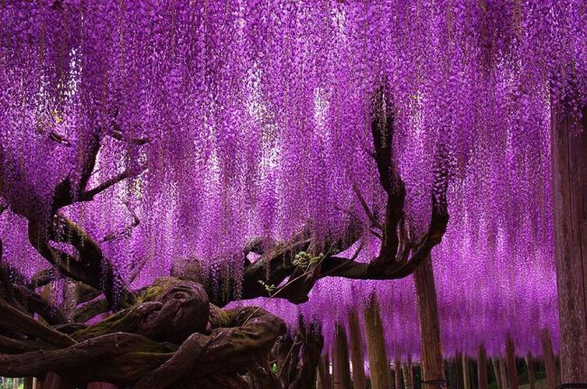 144-year-old-wisteria-in-japan-looks-like-a-pink-sky1-650×431