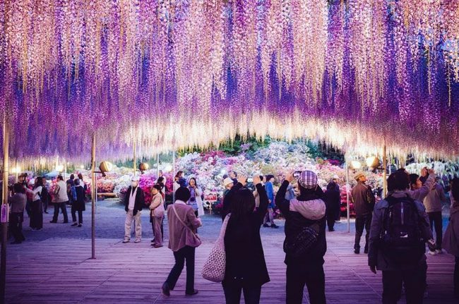 144-year-old-wisteria-in-japan-looks-like-a-pink-sky4-650×431
