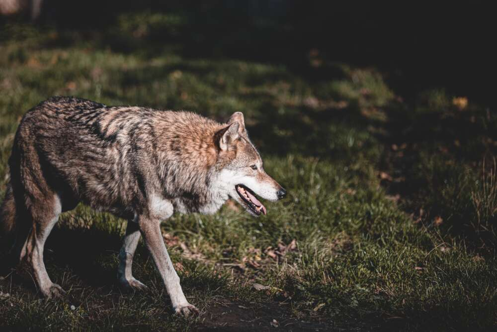 Na autocesti A6 kod Rijeke sudario se s vukom – Evidentirano još 25 naleta na životinje